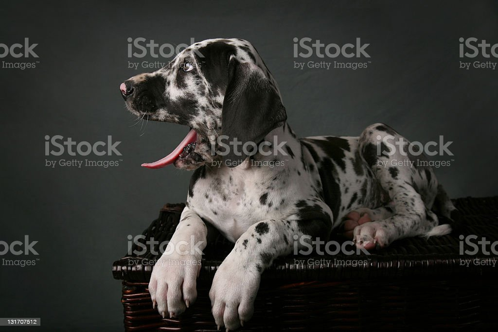 Harlequin Great Dane Puppy On Basket Yawninng Stock Photo Download Image Now Istock