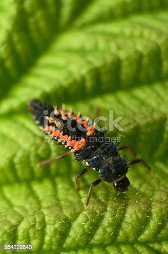 A photograph of Harlequin Ladybird Larvae on a leaf