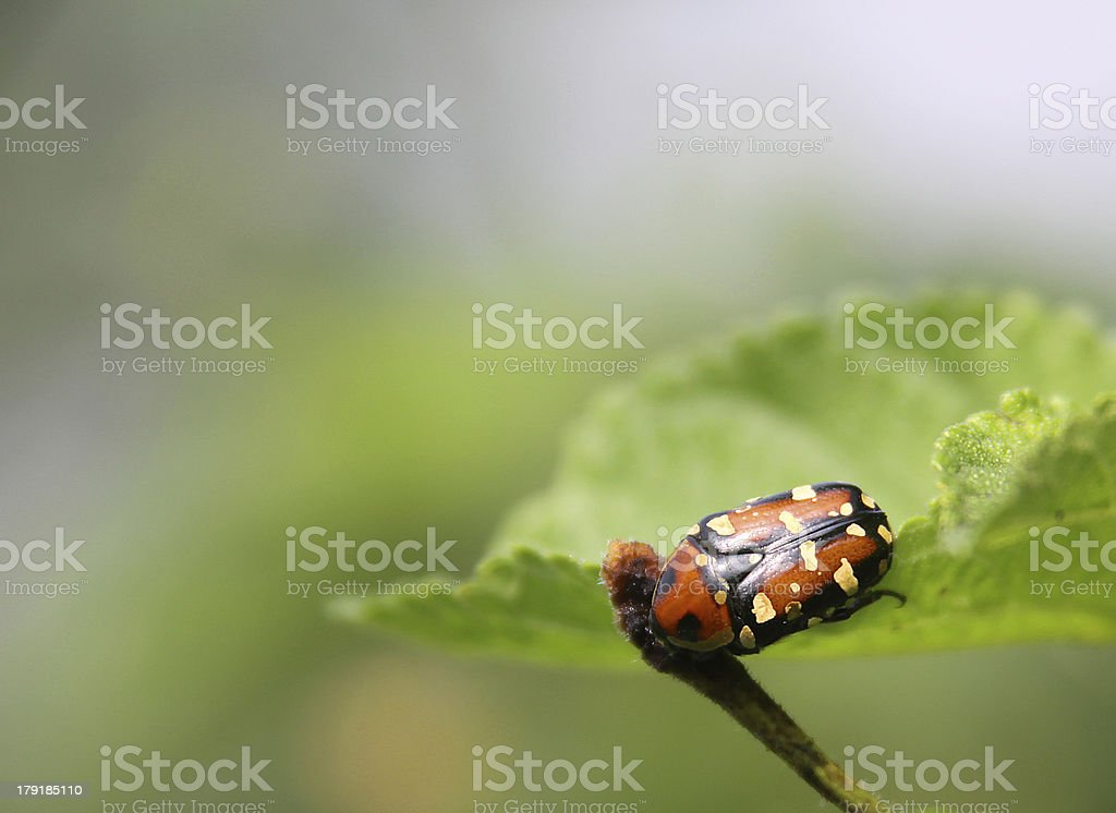 Harlequin ladybird on a green Leaf stock photo