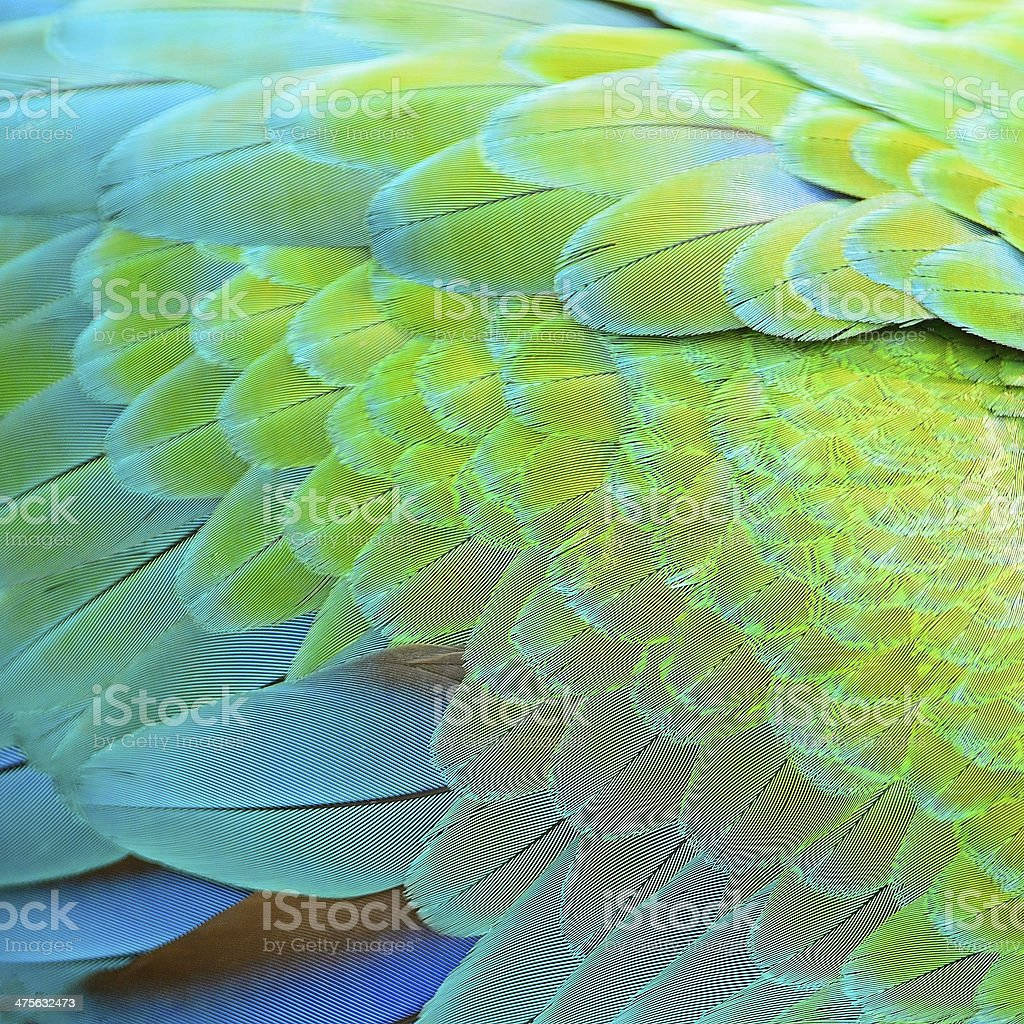 Harlequin Macaw feathers stock photo