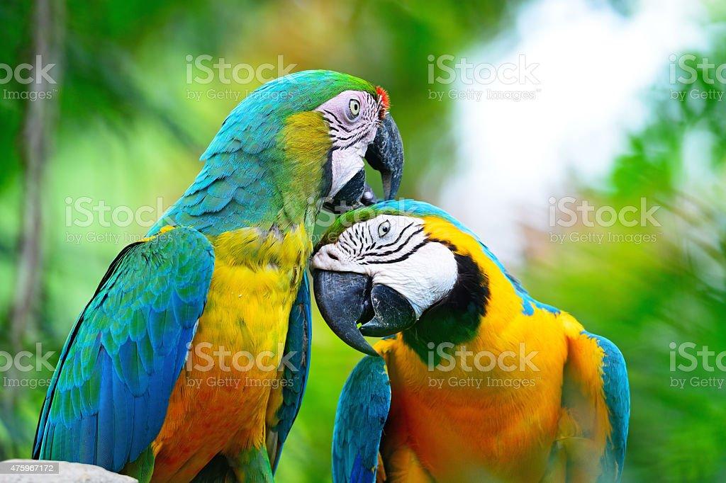 Harlequin macaw stock photo