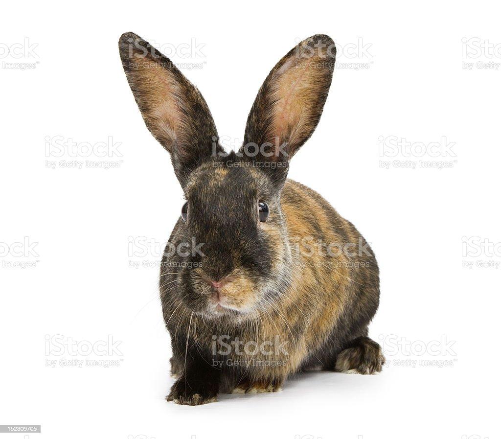 Harlequin Rabbit Isolated on White stock photo