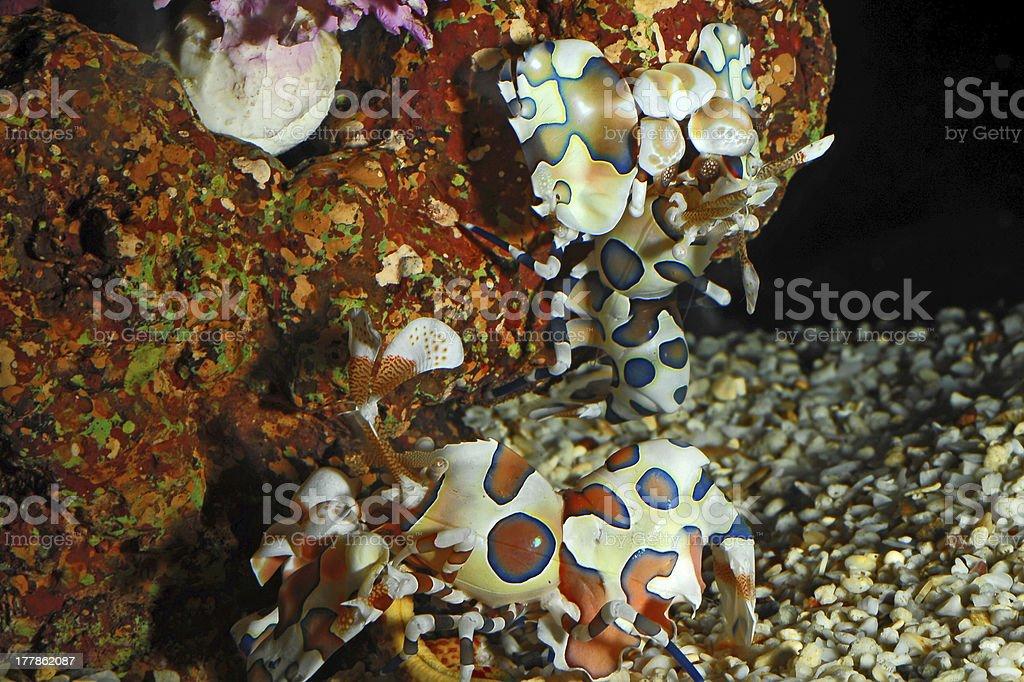 Harlequin shrimp royalty-free stock photo