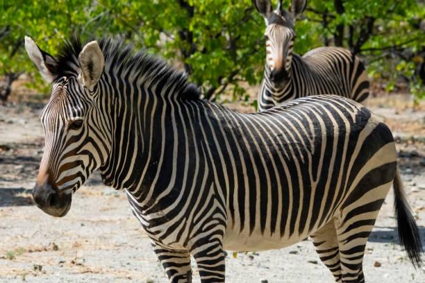 Harmanns Mountain Zebra. stock photo