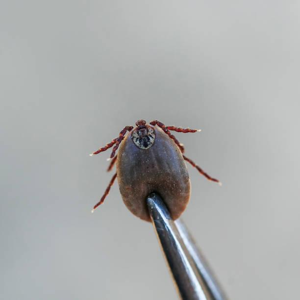 schädlichen ansteckend insekt milbe, die aus der tierischen medizinische metall zange entfernt - entfernen von tierhaaren stock-fotos und bilder