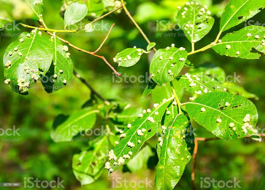 harmful insects of a garden destroy leaves stock photo