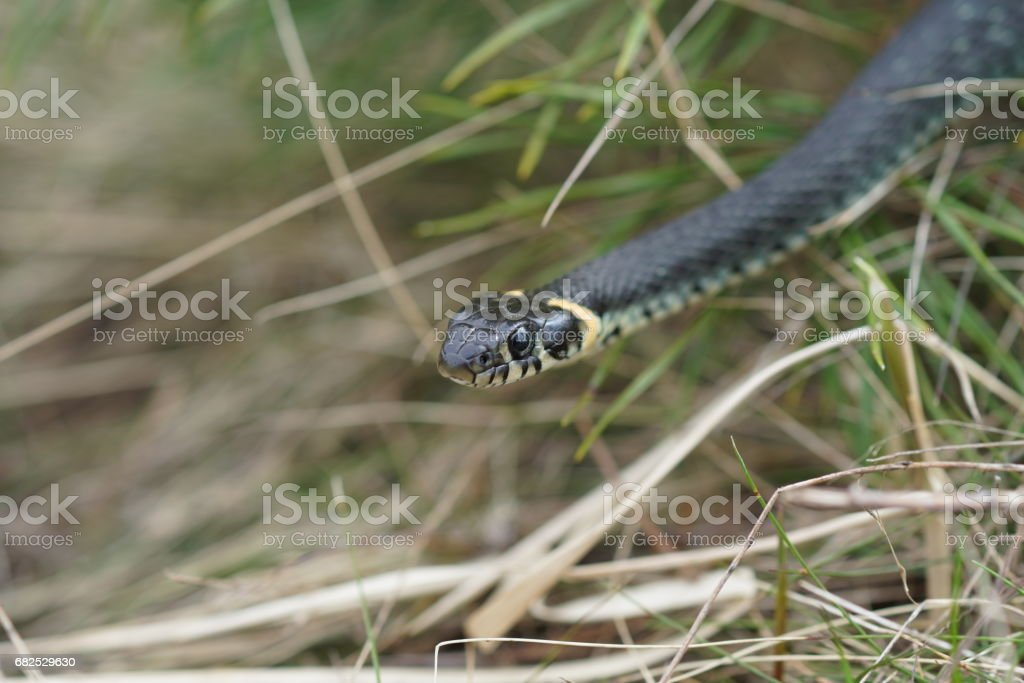 harmless snakes in the woods, closeup forest snake stock photo