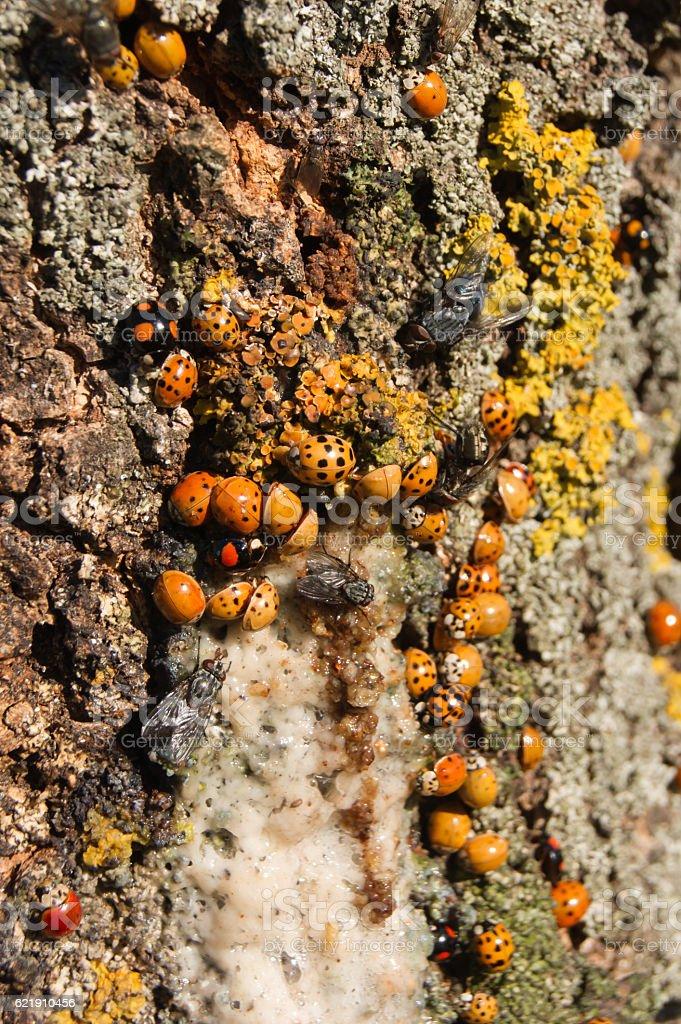 Harmonia axyridis ash tree sap. - foto de stock