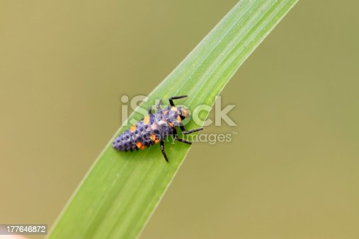 harmonia axyridis larvae on a green leaf, a kind of insects ladybug, taken photos in the natureal wild state, Luannan County, Hebei Province, China.