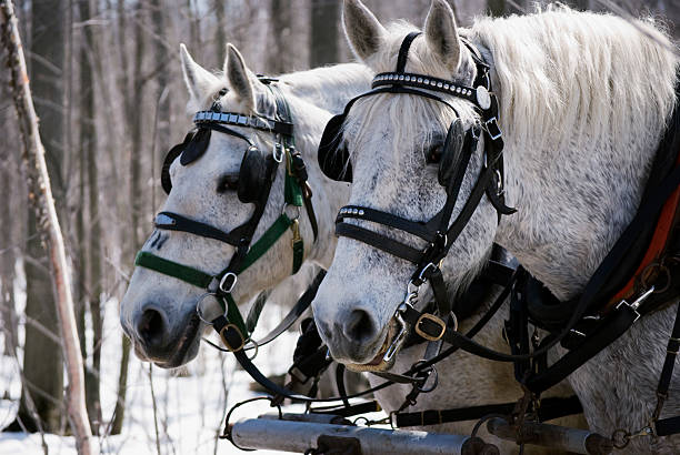 Harnessed Percheron horses stock photo