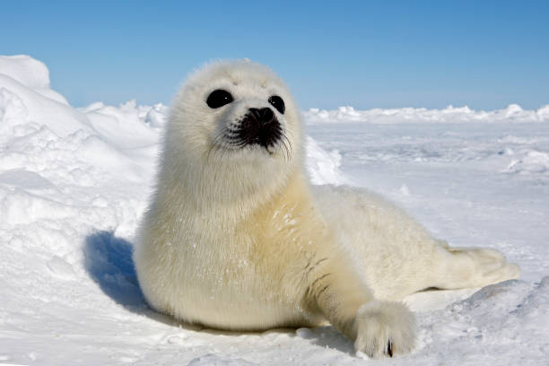 Harp Seal Harp seal in Magdalen islands seal pup stock pictures, royalty-free photos & images