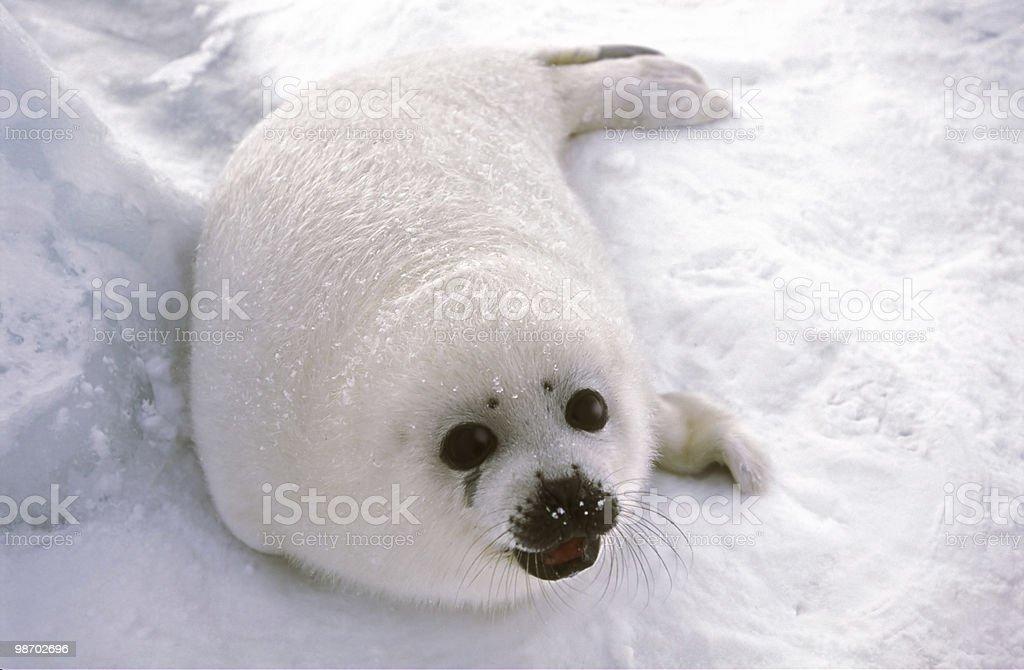 harp seal pup on ice floe stock photo