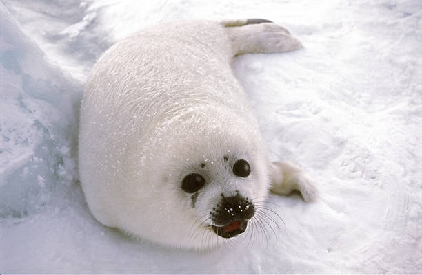 harp seal pup on ice floe  seal pup stock pictures, royalty-free photos & images