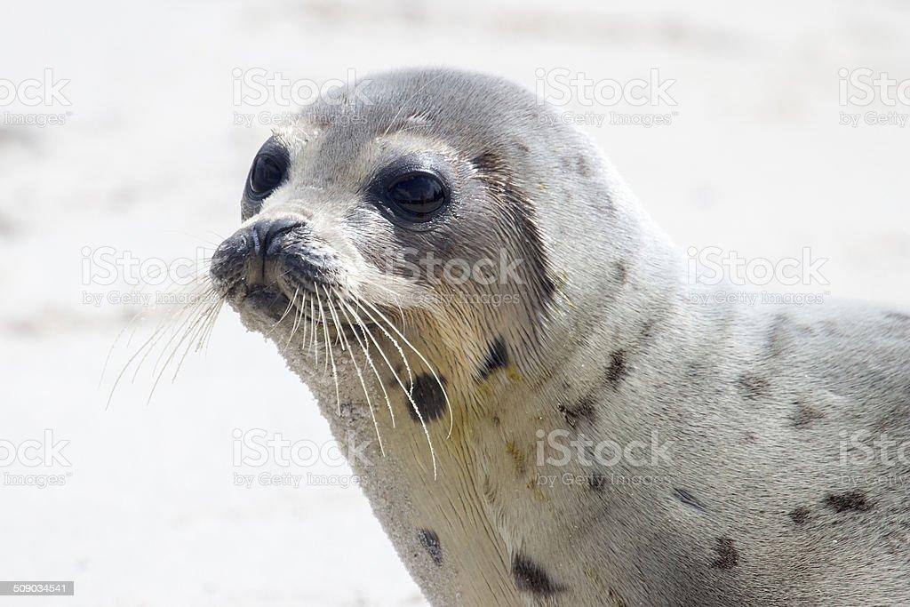 Harp seal pup stock photo