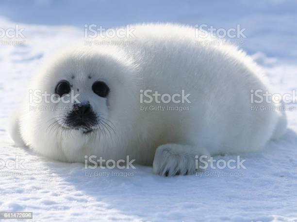 Harp seal pup picture id641472696?b=1&k=6&m=641472696&s=612x612&h= bnwfcklchmgey2zjuusuffy9hxsiuhaw2eu9romjeu=