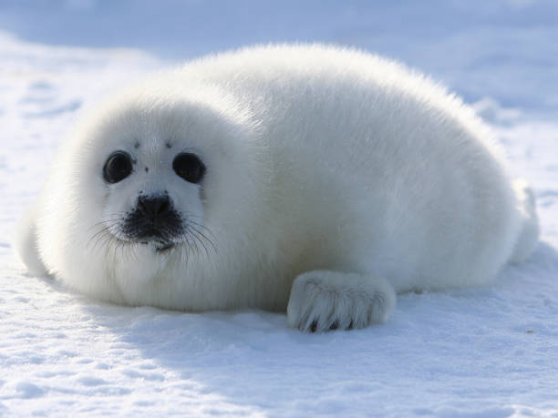 Harp Seal Pup In the West Ice seal pup stock pictures, royalty-free photos & images