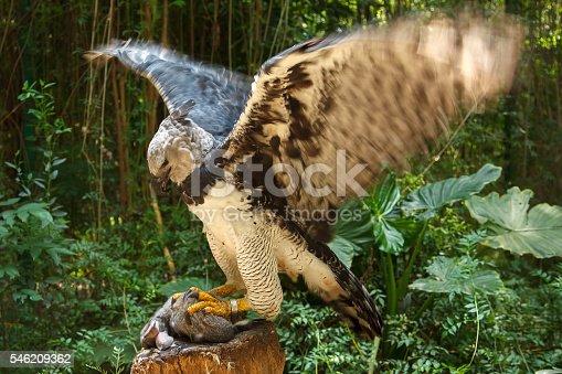 Harpy Eagle ready to eat white bunny