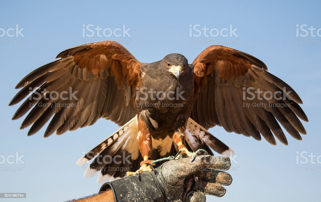 Harrier Hawk on a hand of its trainer near Dubai stock photo