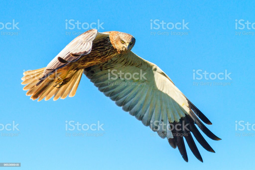 Harrier revealing wings flying through the sky royalty-free stock photo