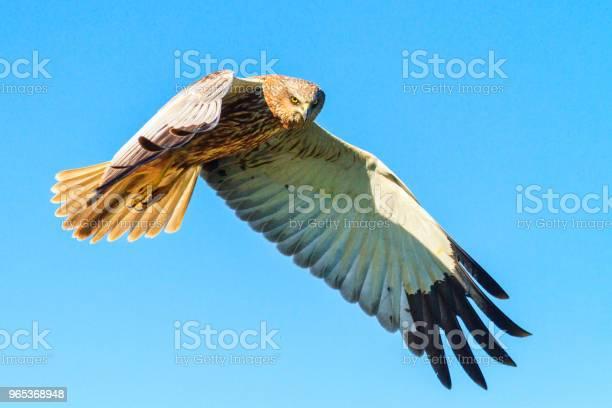 해리 어 하늘을 날고 날개 공개 갈색에 대한 스톡 사진 및 기타 이미지