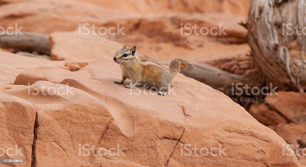 Harris Antelope Squirrel stock photo