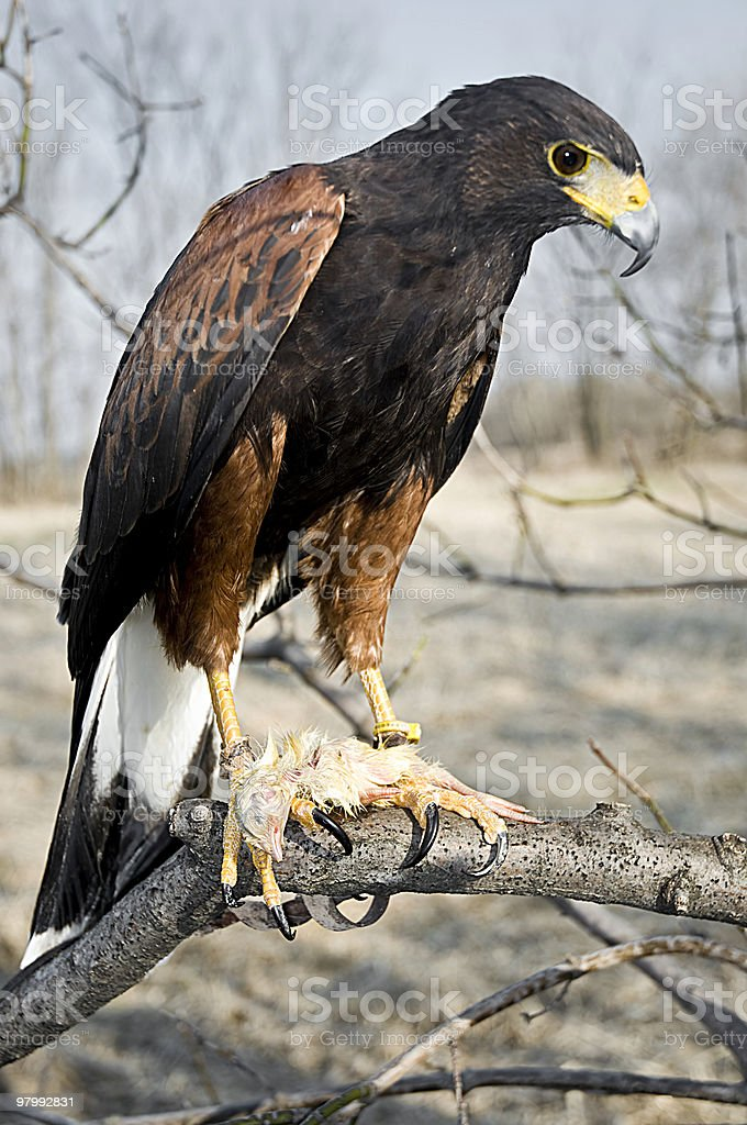 Harris Hawk eating it's prey royalty free stockfoto