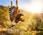 An Arizona Harris Hawk.  Wings out, claws up as it prepares to capture it's unseen prey.  Beautiful Arizona desert in the backgound.