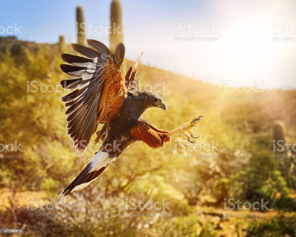 Harris Hawk Going In For the Kill stock photo