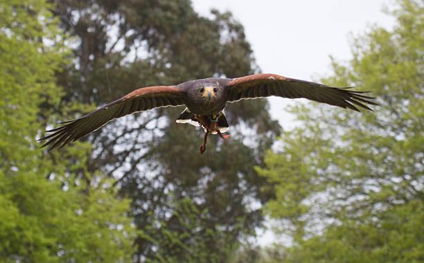 Harris hawk in flight – Foto