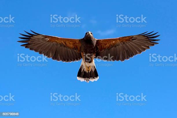 Harris hawk in fright picture id505796846?b=1&k=6&m=505796846&s=612x612&h=yvurlokbwb0kifbuqxfrorr2abnp5es5fsykrlwkcoe=