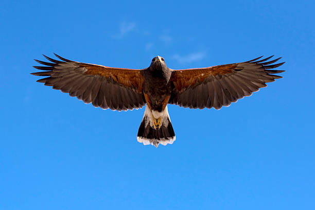 harris hawk in fright - hawk bird stock photos and pictures