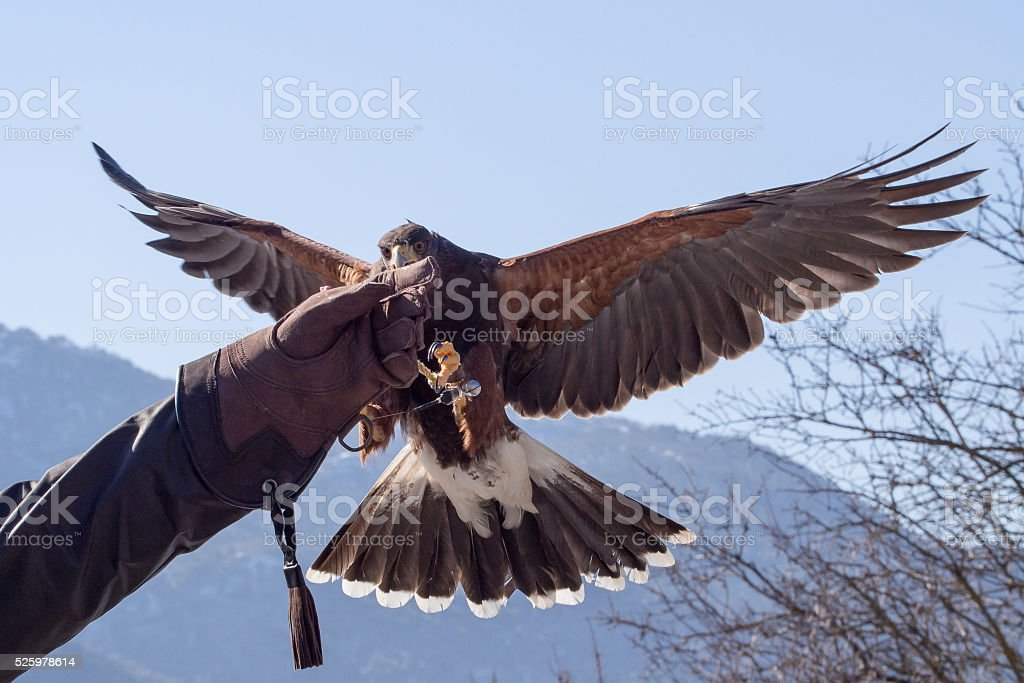 Harris hawk landing in a falconry exhibition stock photo