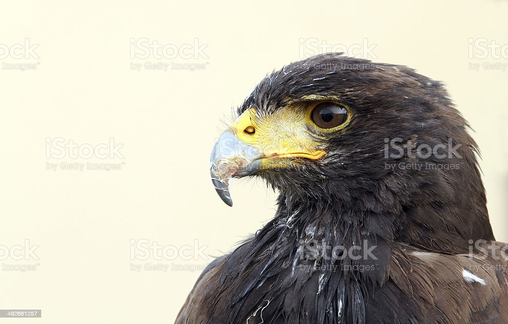 Harris hawk. Parabuteo unicinctus stock photo