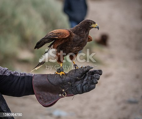 istock Harris hawk perched on a gloved hand of a trainer eating raw meat 1280954750