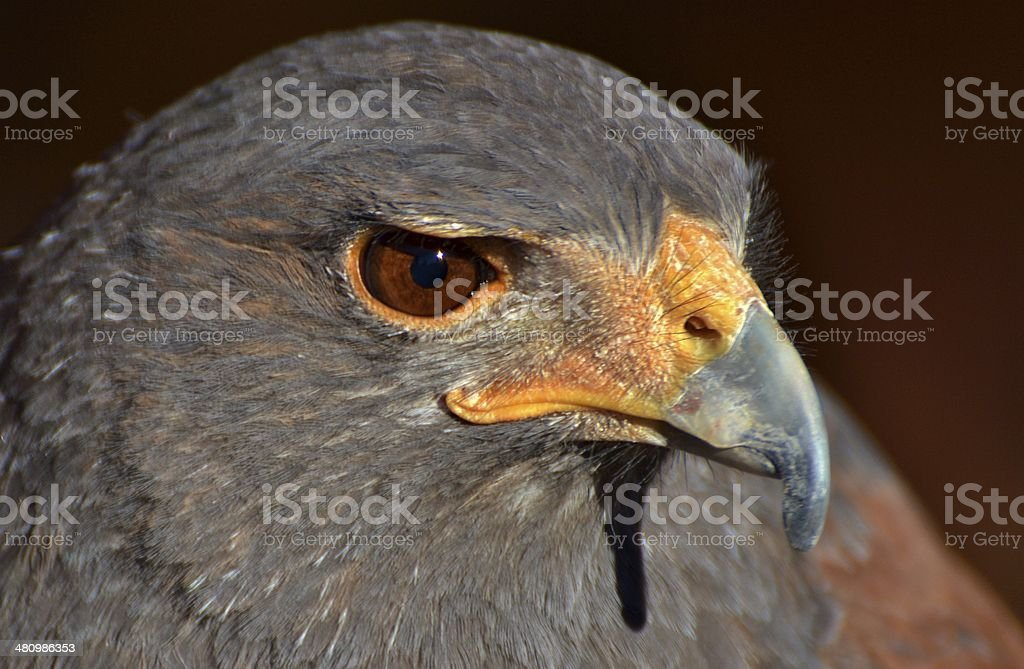 Harris Hawk Stock Photo More Pictures Of Animal Istock