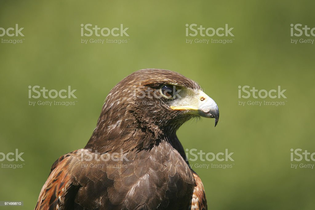 Harris hawk portrait royalty-free stock photo