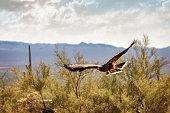 Beautiful Harris hawk bird soaring over Arizona desert