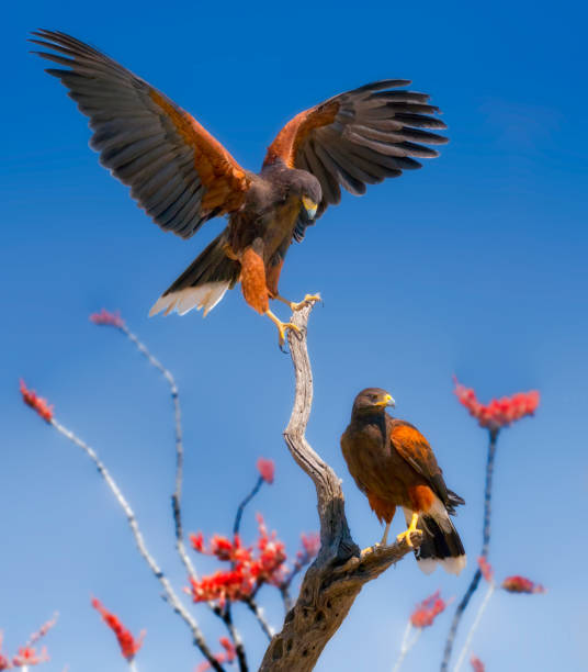 harris hawks on ocotillo branches - hawk bird stock photos and pictures