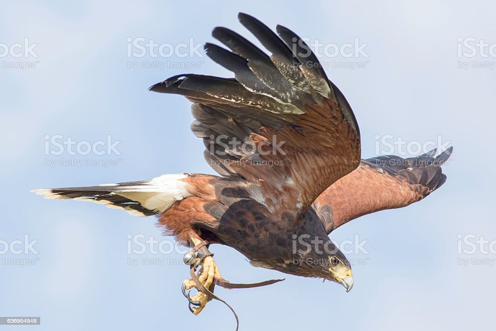 Harris's hawk in flight with falconry jesses and bell stock photo