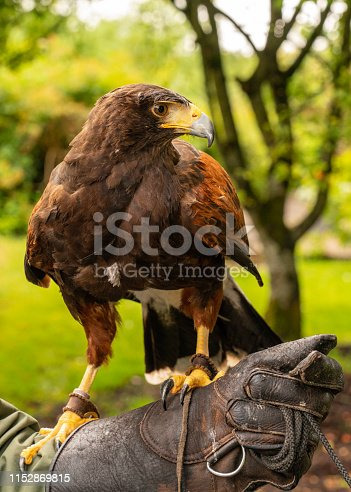 Harris's Hawk with his handler at a country estate in Ireland