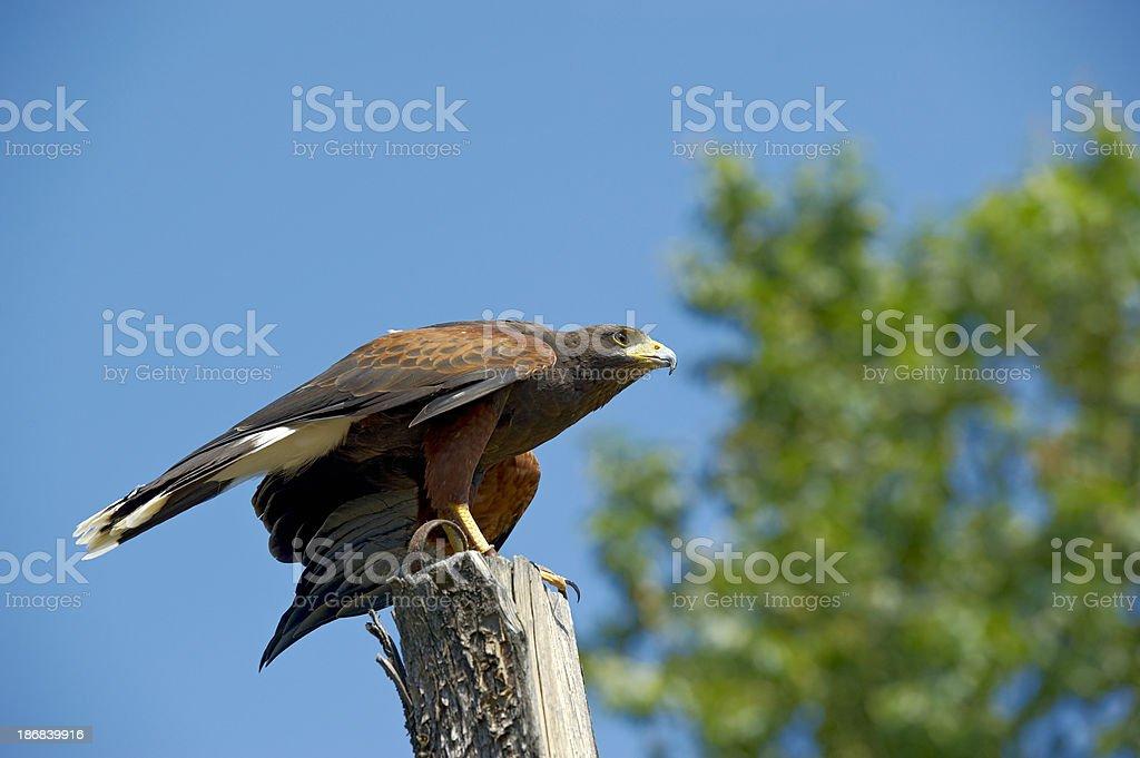 Harris's Hawk royalty-free stock photo