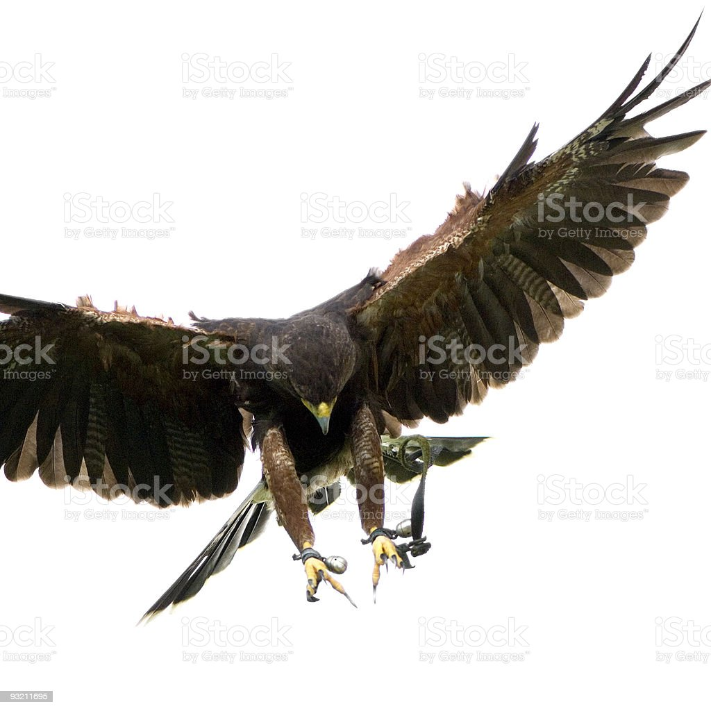 Harris's Hawk (18 months) royalty-free stock photo