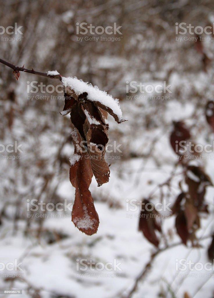 Harshness of Winter - Fragile Leaf stock photo