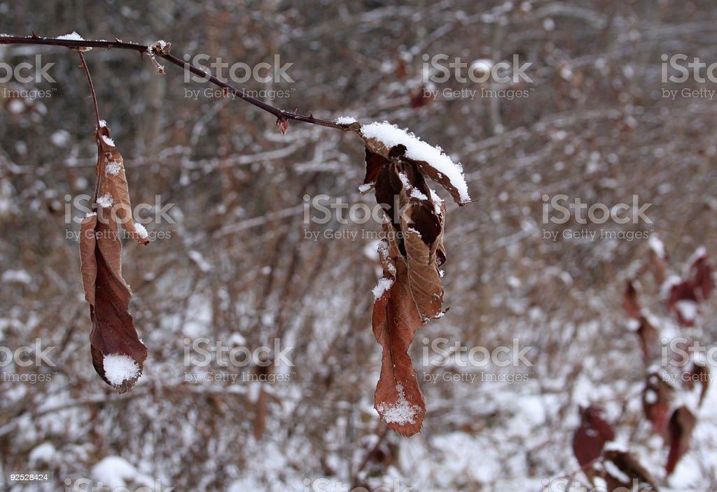 Harshness of Winter - Fragile Leaves stock photo