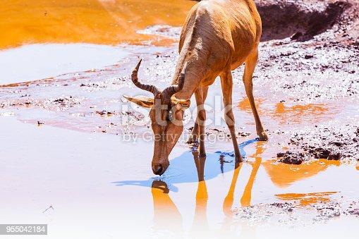 Hartebeest drinking water from waterhole/pond