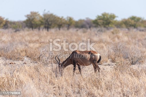 Closeup of a Red Hartebeest - Alcelaphus buselaphus Caama- also known as the Kongoni, or Cape Hartebeest on the plains of Etosha National Park.