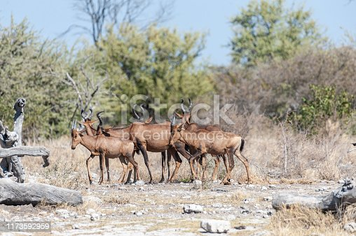 A herd of Red Hartebeest - Alcelaphus buselaphus Caama- also known as the Kongoni, or Cape Hartebeest on the plains of Etosha National Park.