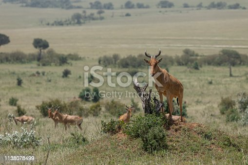 Hartebeest on a mount at Masai Mara Game Reserve,Africa,Kenya