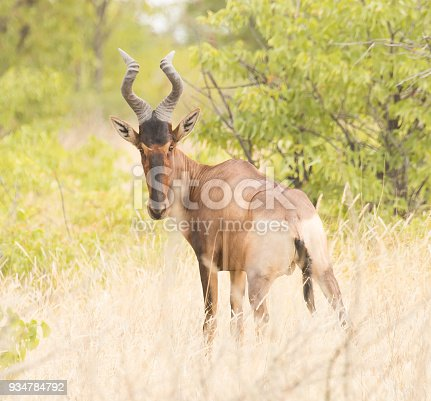 Hartebeest on the grass.