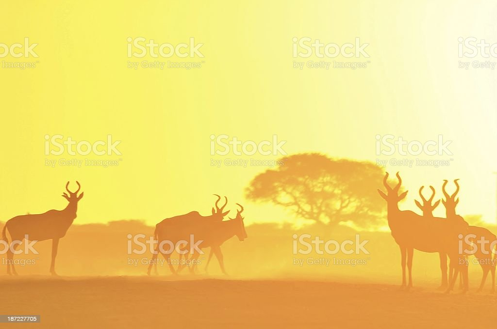 Hartebeest Sunset Background of Beauty and Gold - Africa royalty-free stock photo